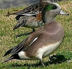 Canard à front blanc