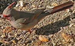 Cardinal pyrrhuloxia