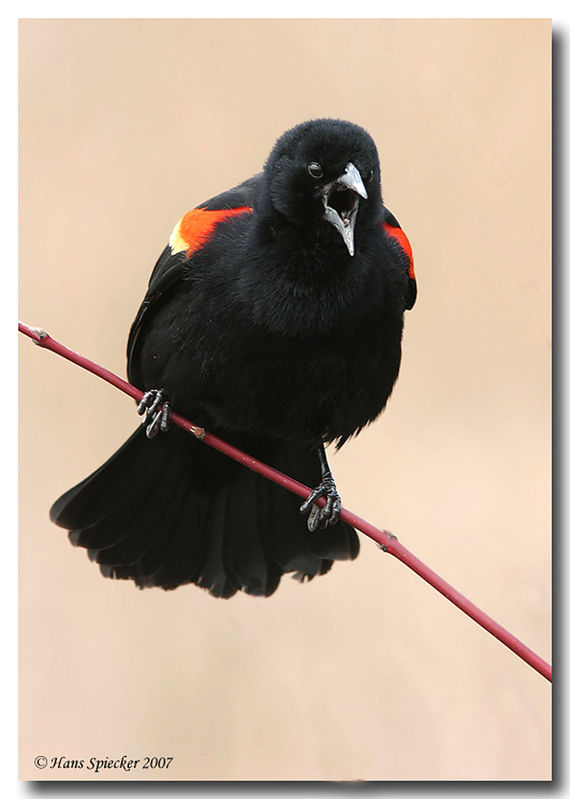 Red-winged Blackbird male adult