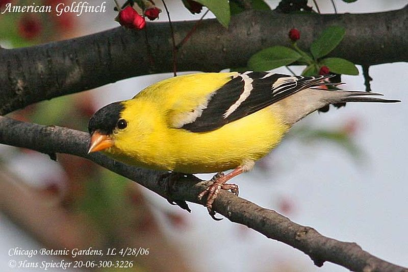 American Goldfinch male adult breeding