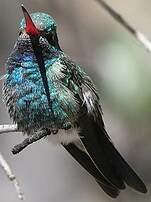 Colibri circé