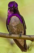 Colibri de Costa