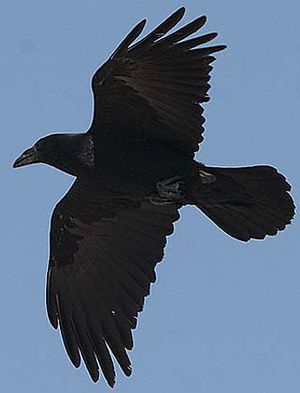 Corbeau à cou blanc