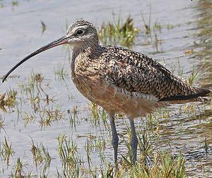 Courlis long bec numenius americanus for Oiseau a long bec
