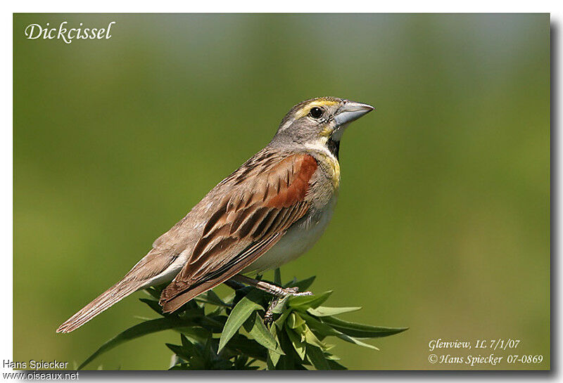 Dickcissel male adult