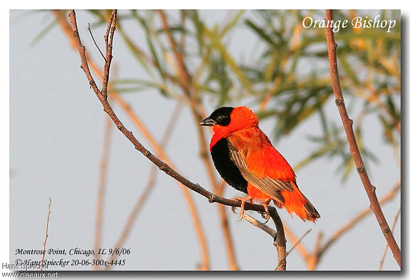 Northern Red Bishop male adult