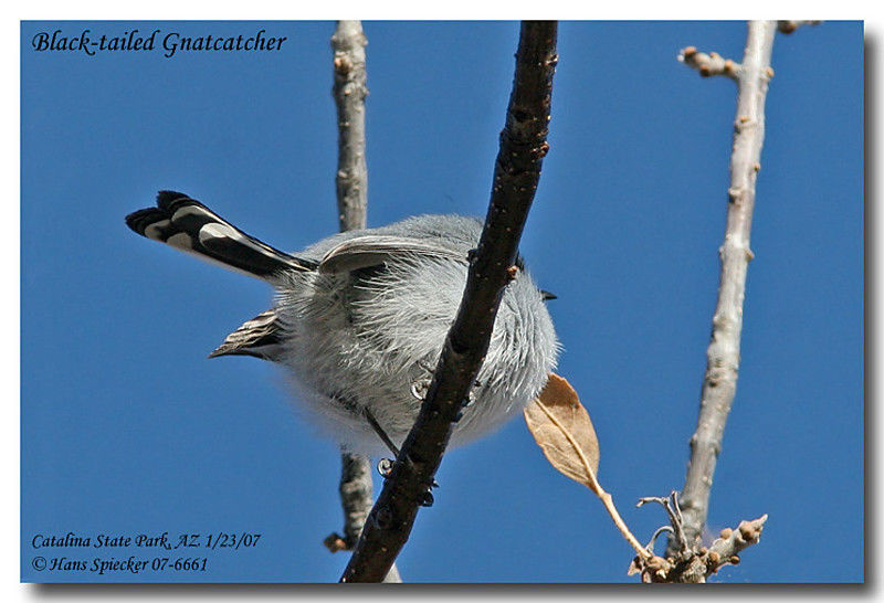 Black-tailed Gnatcatcher adult