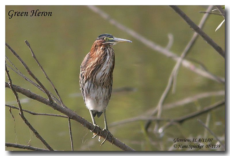 Green Heron adult