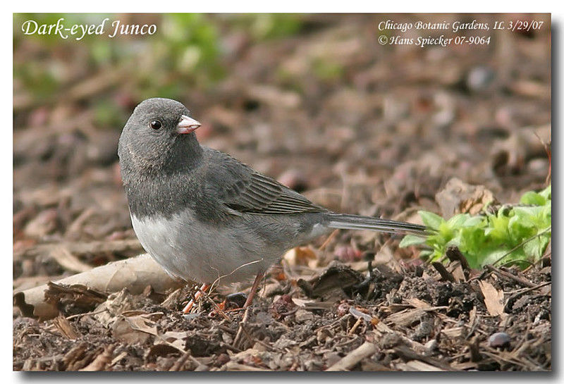 Junco ardoisé adulte