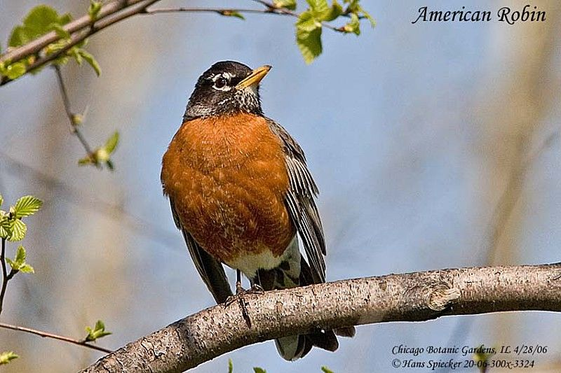 American Robin male adult breeding
