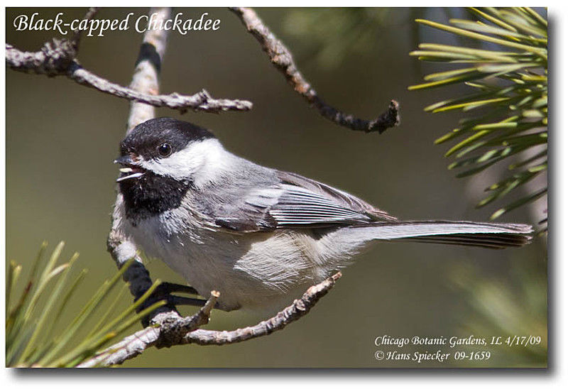 Black-capped Chickadee adult