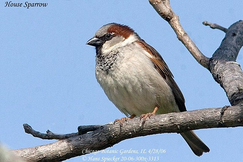 House Sparrow male adult post breeding