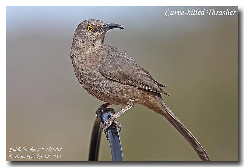Moqueur bec courbe adulte ref hasp52801 for Oiseau marron