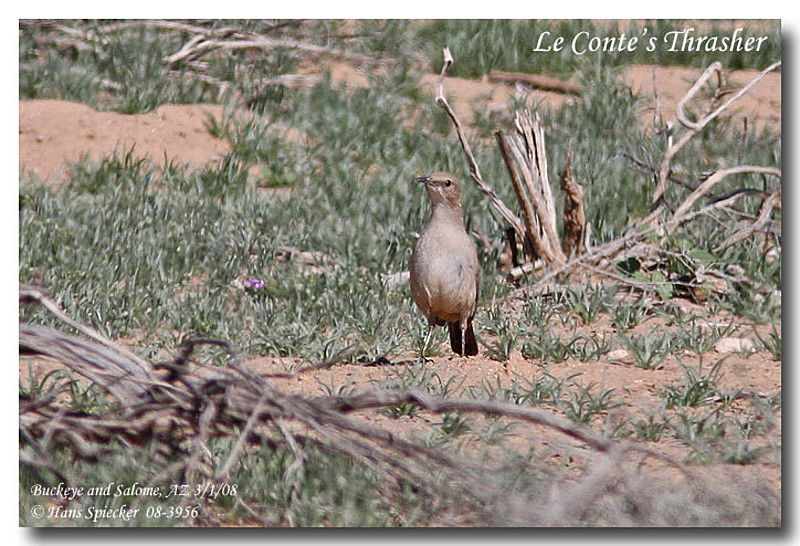Le Conte's Thrasher adult
