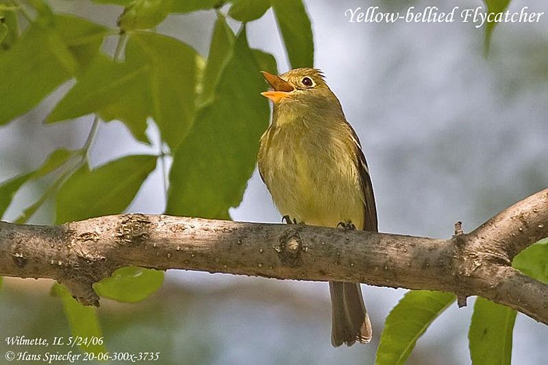 Moucherolle a ventre jaune for Oiseau ventre jaune