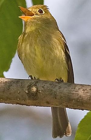 Moucherolle à ventre jaune