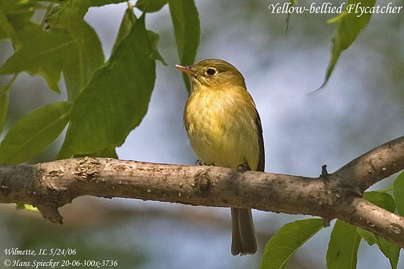 Moucherolle ventre jaune adulte ref hasp20357 for Oiseau ventre jaune