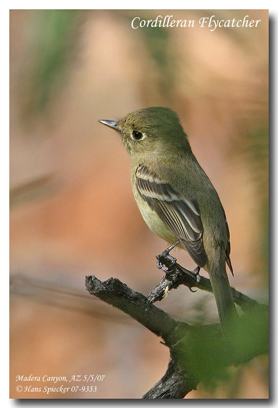 Cordilleran Flycatcher adult