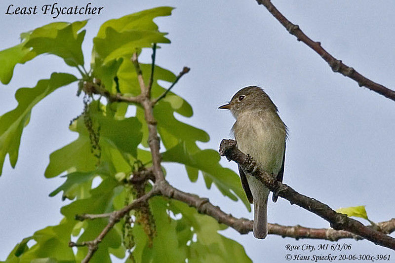 Least Flycatcher adult breeding