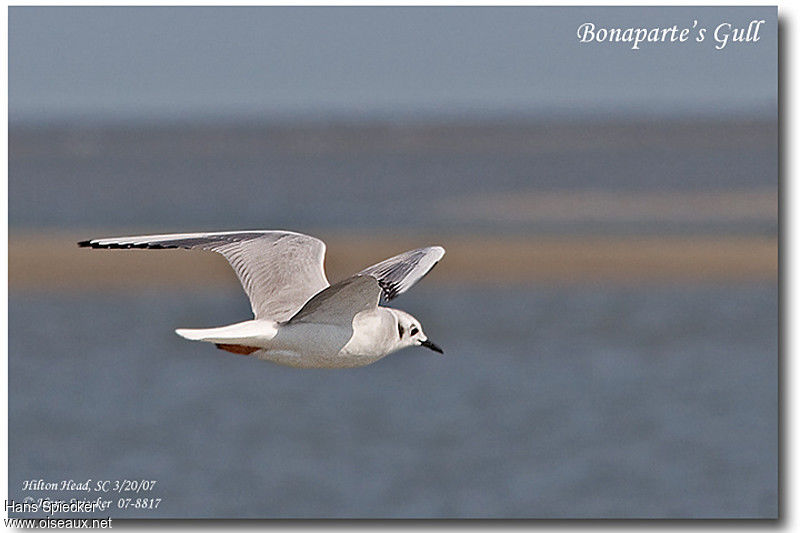 Bonaparte's Gull adult post breeding
