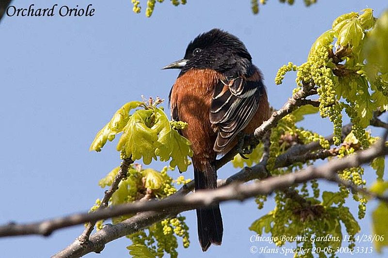 Orchard Oriole male adult breeding