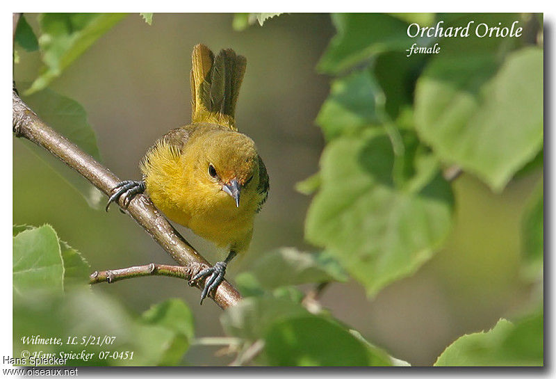 Orchard Oriole female adult