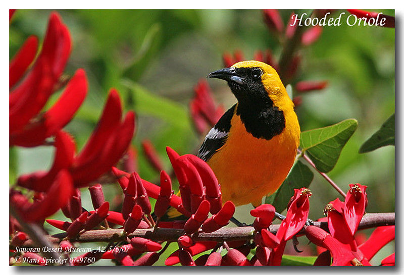 Hooded Oriole male adult