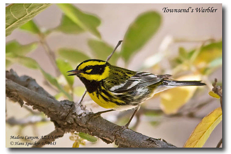 Townsend's Warbler male adult breeding