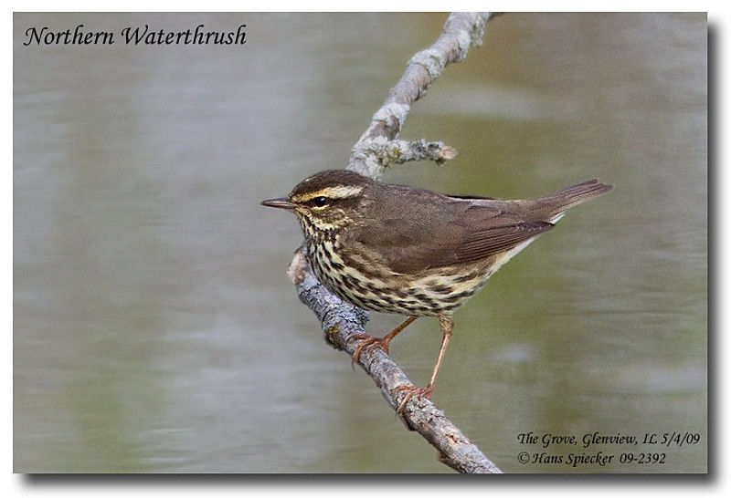 Northern Waterthrush adult