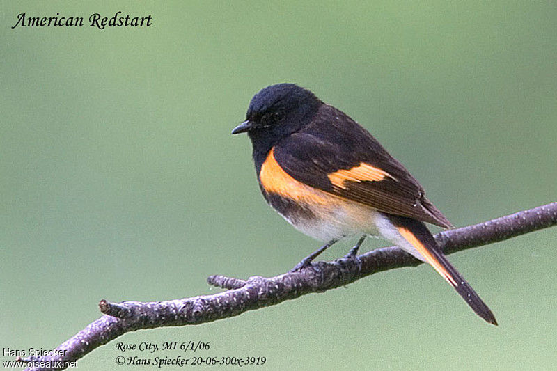 American Redstart male adult breeding