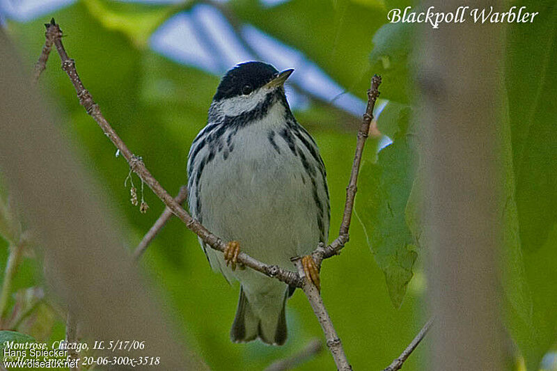 Blackpoll Warbler male adult breeding