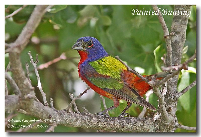 Oiseau Martine 27/08 trouvé par Ajonc et Jov Passerin.nonpareil.hasp.1g