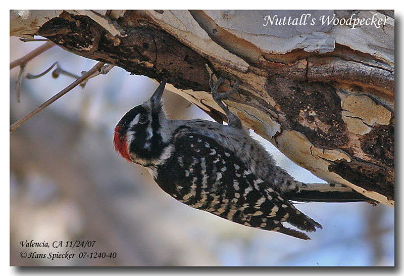 Nuttall's Woodpecker male adult
