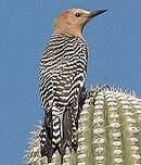 Pic des saguaros
