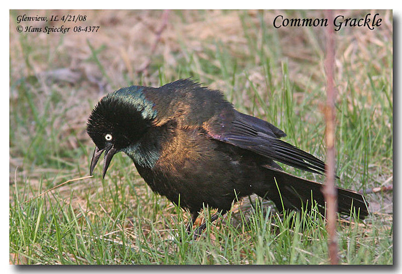 Common Grackle male adult