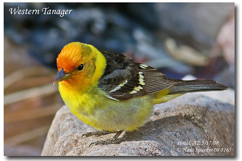Western Tanager male adult