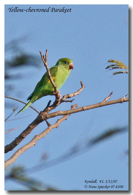 Yellow-chevroned Parakeet adult