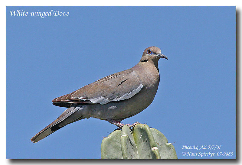 White-winged Dove adult