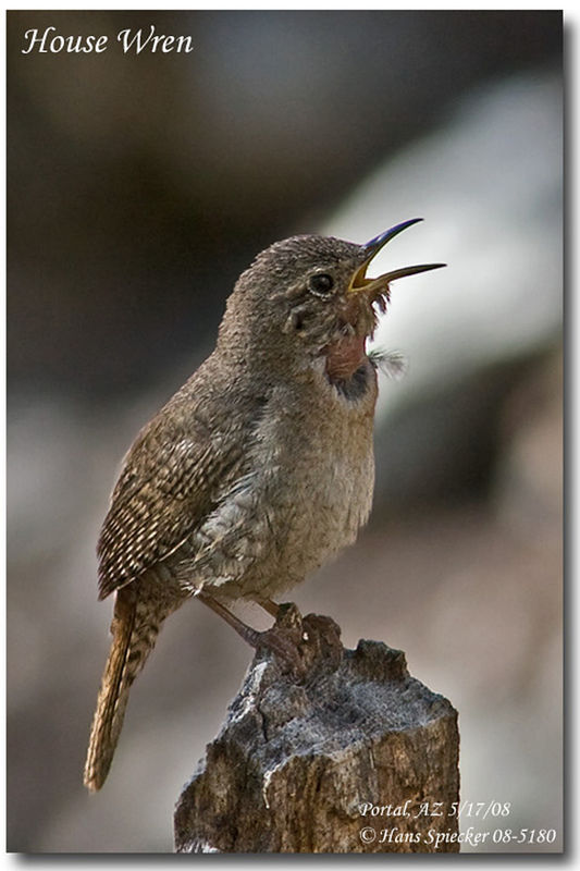 House Wren adult
