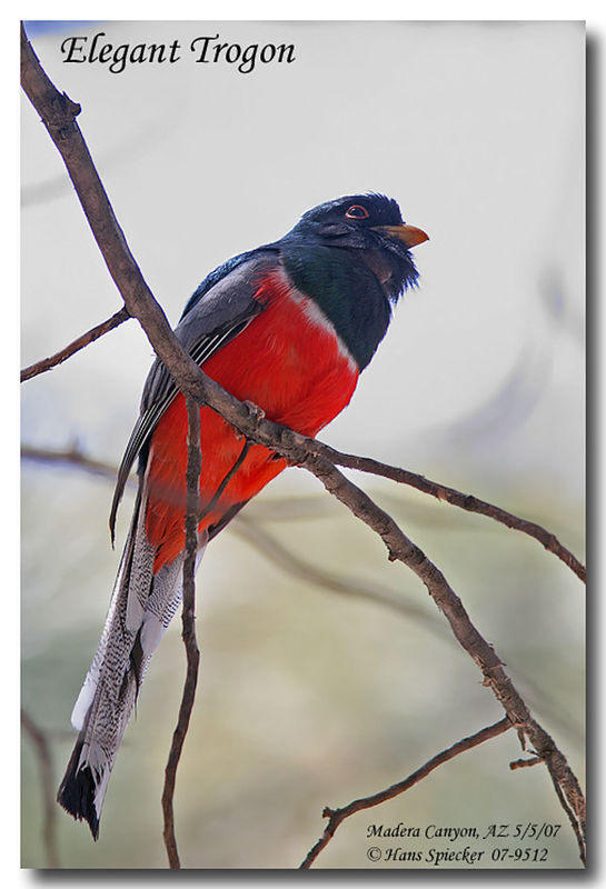 Elegant Trogon male adult