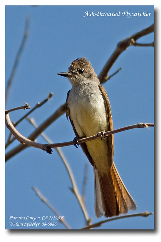 Ash-throated Flycatcher adult