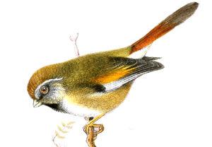 Paradoxornis de Verreaux