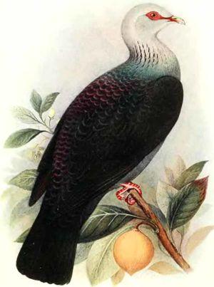 Pigeon des Andaman