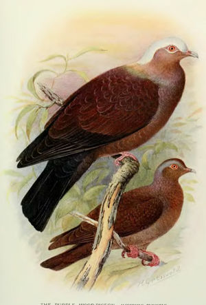 Pigeon marron