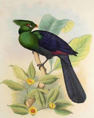 Touraco vert