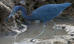 Aigrette bleue