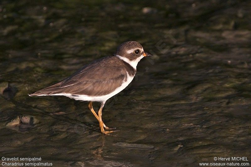 Semipalmated Plover , identification