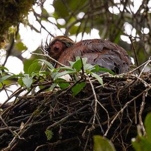 Ibis malgache