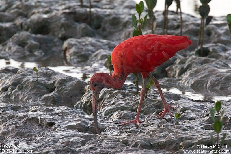 Ibis rouge adulte, identification