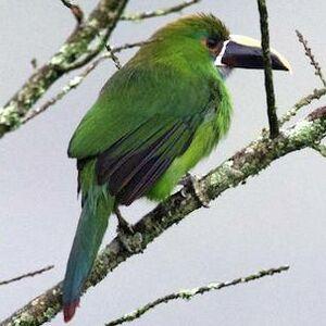 Toucanet des Andes